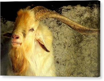 Billy Goat Gruff Canvas Print by Karen Wiles