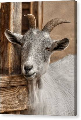 Goat Canvas Print - Billy Goat by Lori Deiter