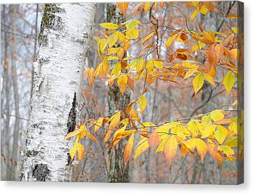 Canvas Print featuring the photograph Birch And Beech by Paul Miller