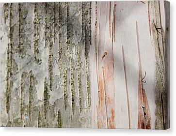 Birch Bark 11 Canvas Print by Mary Bedy