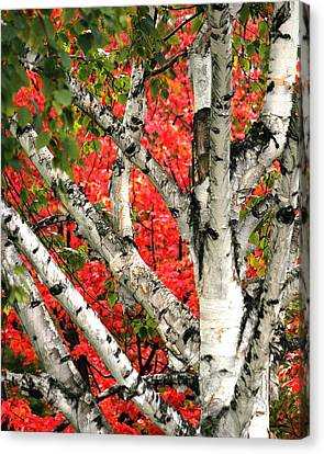Canvas Print featuring the photograph Birch Eclipsing Maple by Doris Potter