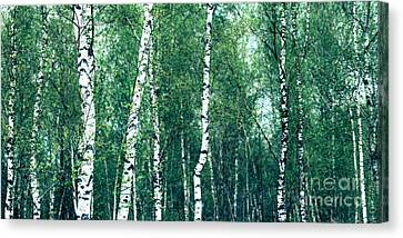 Birch Forest - Green Canvas Print by Hannes Cmarits