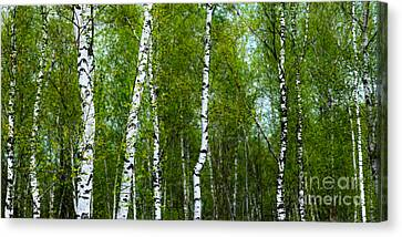 Birch Forest Canvas Print by Hannes Cmarits