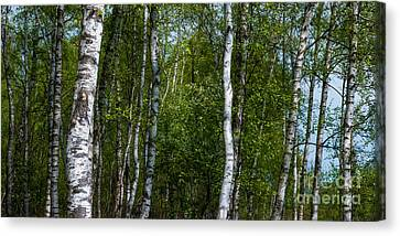 Birch Forest In The Summer Canvas Print by Hannes Cmarits