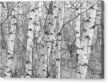 Rights Managed Images Canvas Print - Birch Forest by Rob Huntley