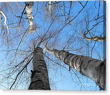 Birch Group In Winter Canvas Print