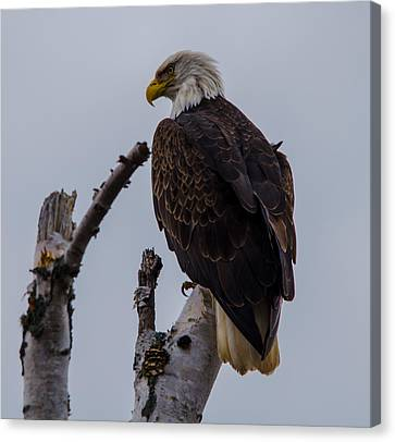 Birch Tree Bald Eagle Canvas Print by David Johnson
