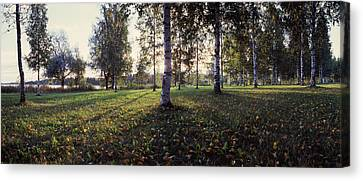 Birch Trees, Imatra, Finland Canvas Print by Panoramic Images