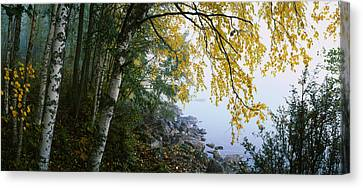 Birch Trees In A Forest, Puumala Canvas Print by Panoramic Images