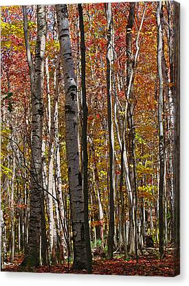 Western Ma Canvas Print - Birch Trees In Autumn by Juergen Roth