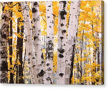 Birch Trees In The Fall Canvas Print by Susan Crossman Buscho