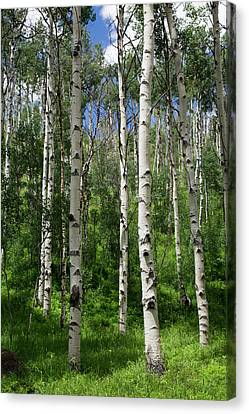 Birch Trees Canvas Print by Jim West