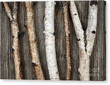 Birch Trunks Canvas Print