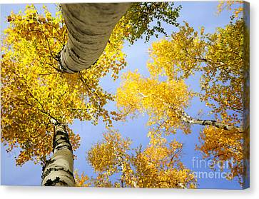 Birches In Autumn Colors Canvas Print by Marleen  Bos