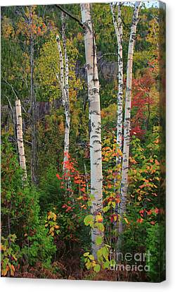 Birches In Fall Canvas Print