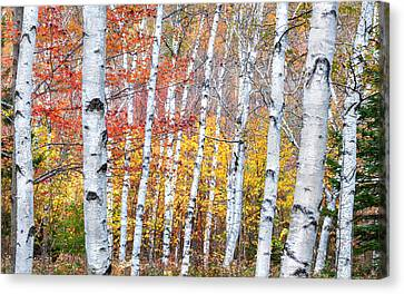 Birches Of Grafton Notch Canvas Print by Thomas Schoeller