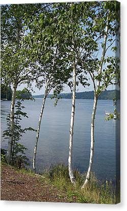 Birches On Sunapee Canvas Print