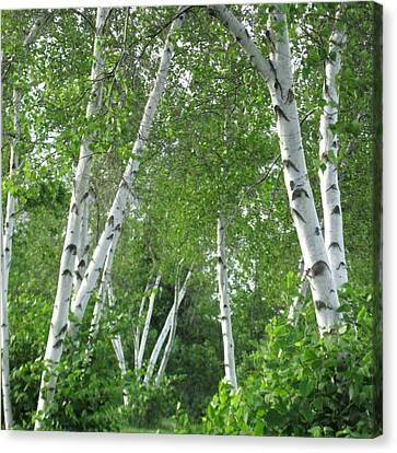 Birches Canvas Print by Patricia E Sundik