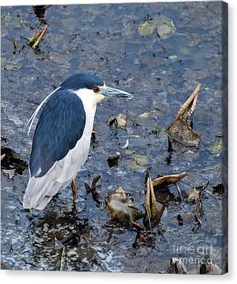 Bird - Black Crowned Night Heron Canvas Print by Paul Ward