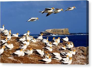 Canvas Print featuring the photograph Bird Colony Australia by Henry Kowalski