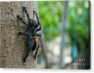Bird-eater Tarantula / Tarantula Comedora De Aves Canvas Print by Daniel Castillo