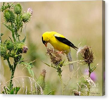 Bird -gold Finch Feasting  Canvas Print by Paul Ward