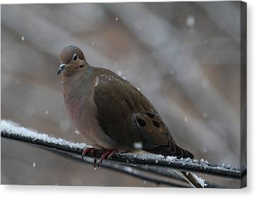 Bird In Snow - Animal - 011311 Canvas Print by DC Photographer