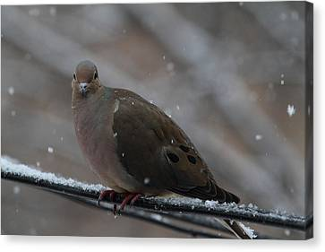 Bird In Snow - Animal - 011312 Canvas Print by DC Photographer