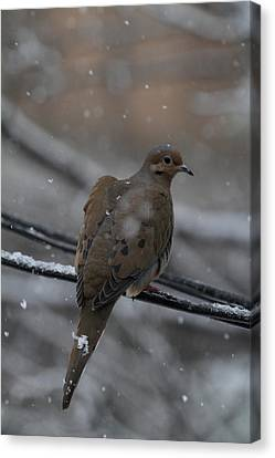 Bird In Snow - Animal - 01132 Canvas Print by DC Photographer