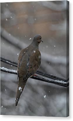 Bird In Snow - Animal - 01134 Canvas Print by DC Photographer