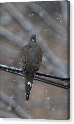 Bird In Snow - Animal - 01135 Canvas Print by DC Photographer