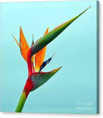 Bird Of Paradise Against Aqua Sky Canvas Print by Debra Thompson