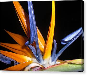 Bird Of Paradise Beauty Limited Edition 7/33 Canvas Print by Michele Penn