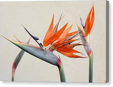Bird Of Paradise Canvas Print by Denice Breaux