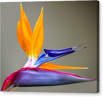 Bird Of Paradise Flower Canvas Print by Photographic Art by Russel Ray Photos