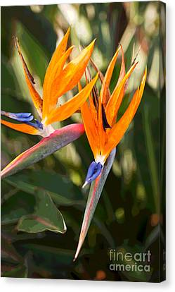 Bird Of Paradise In Flower Canvas Print