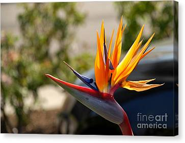Bird Of Paradise Canvas Print by Leo Sopicki