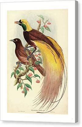 Bird Of Paradise Paradisea Apoda, Published 1875 1888 Canvas Print