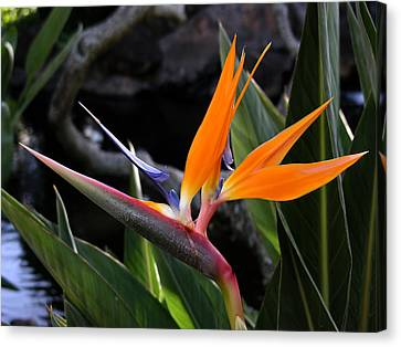 Canvas Print featuring the photograph Bird Of Paradise by Robert Lozen