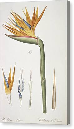 Bird-of-paradise (strelitzia Reginae) Canvas Print by Science Photo Library