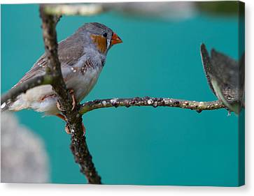 Canvas Print featuring the photograph Bird On A Branch by John Hoey
