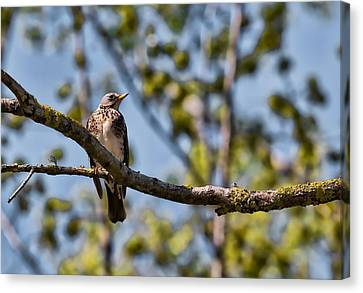 Canvas Print featuring the photograph Bird Sitting On Brach by Leif Sohlman