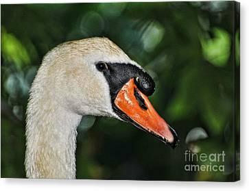 Bird - Swan - Mute Swan Close Up Canvas Print by Paul Ward