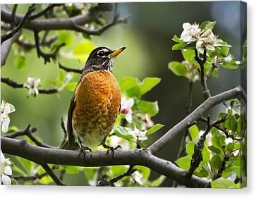 American Robin Canvas Print - Birds - American Robin - Nature's Alarm Clock by Christina Rollo