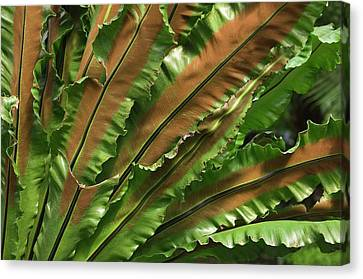 Bird's Nest Fern (asplenium Nidus) Canvas Print by Maria Mosolova