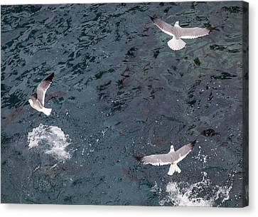 Birds Taking Advantage Of Feeding Time  Canvas Print by Susan Stone