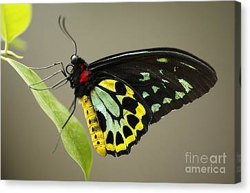 Birdwing Butterfly Canvas Print by Craig Dingle