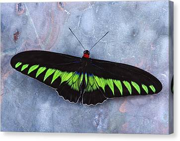 Birdwing Butterfly Trogonoptera  Canvas Print by Robert Jensen