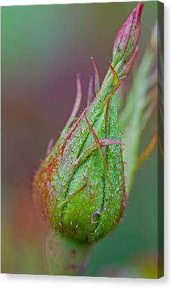 Birth Of A Rose Canvas Print by Bob Noble Photography