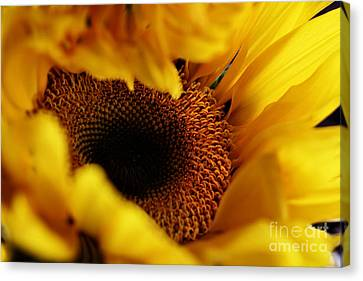 Birth Of A Sunflower Canvas Print by Stephanie Frey